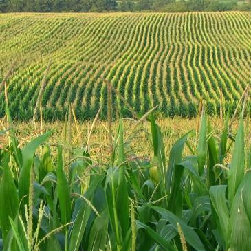 Kolejne bezlitosne liczby dla zbóż z USA