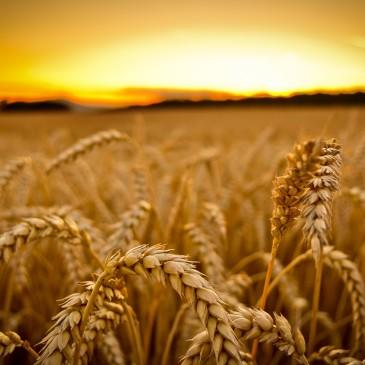 Dobre wieści dla pszenicy po czwartkowym raporcie USDA