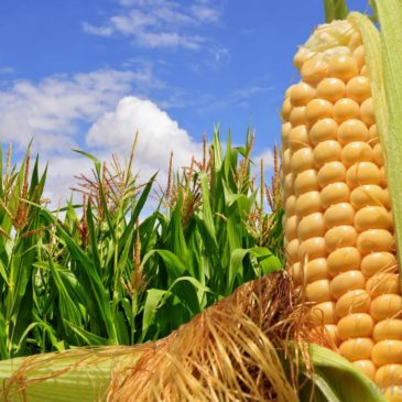 Świetne dane wspierają ceny kukurydzy. Co dalej z ziarnami?